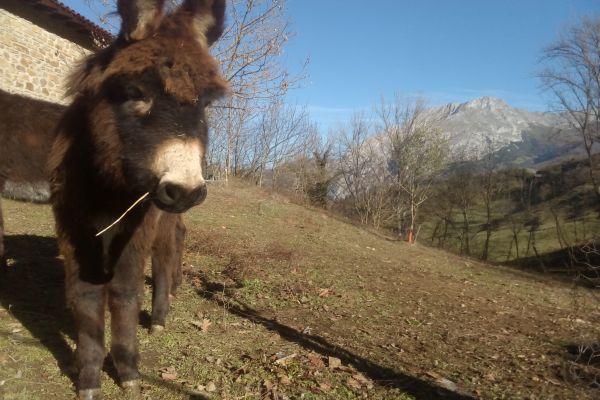 Camino Lebaniego con burros